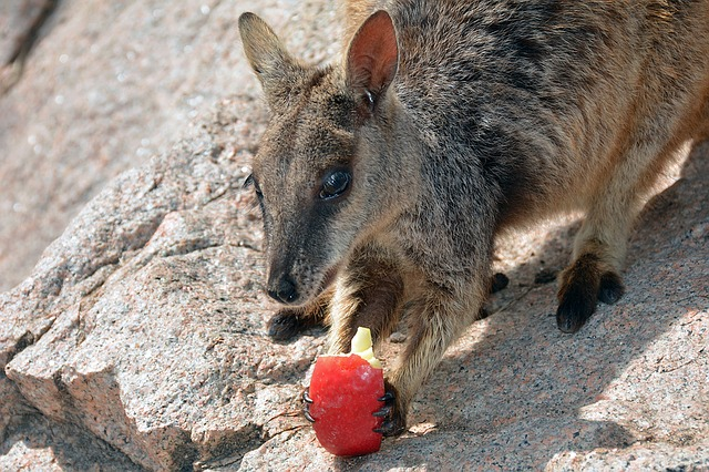 klokan s jablkem