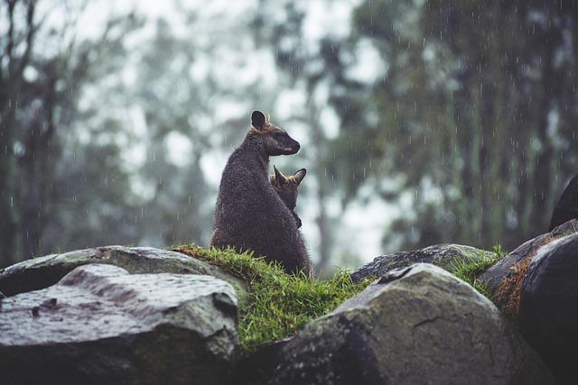 klokani na kamenech