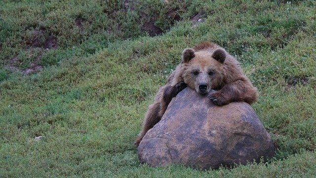 medvěd na kameni