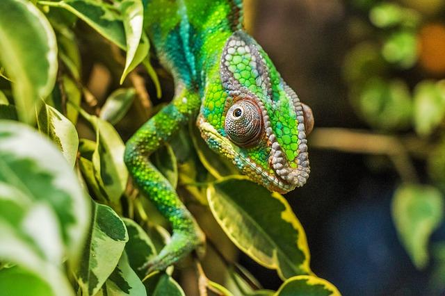 chameleon na kytce