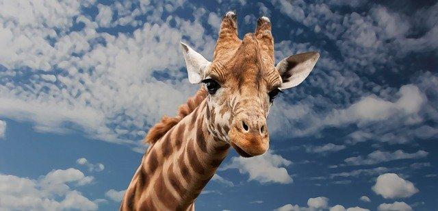 hlava žirafy.jpg
